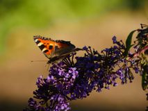 Butterfly on a butterfly bush buddleja. Orange butterfly sitting on a purple butterfly bush buddleja / buddleia, a plant that truly attracts butterflies royalty free stock images