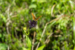 Orange butterfly sitting on purple flower. With green leafs Stock Photo