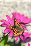 Orange butterfly sitting on purple flower. On light brown background Royalty Free Stock Photos