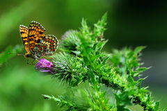 Orange butterfly sitting on purple red thistle flower. On green background Royalty Free Stock Images