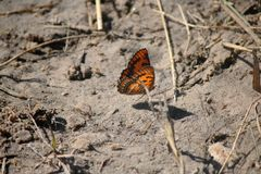 ORANGE SPOTTED JOKER BUTTERFLY SITTING ON A SANDY PATCH. View of an orange and black butterfly sitting on the ground with dry grass stalks royalty free stock image