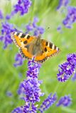 Monarch butterfly sitting on violet lavender Royalty Free Stock Images
