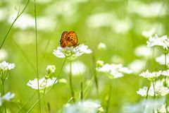 Orange butterfly sitting on the white flower close-up 1. Orange butterfly sitting on the white flower 1 royalty free stock photography