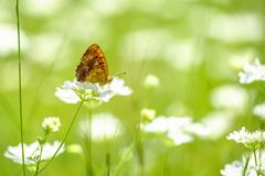 Orange butterfly sitting on the white flower close-up 3. Orange butterfly sitting on the white flower 2 stock image