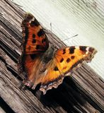 Orange butterfly sitting on wood. Orange butterfly with black dots on its wings sitting on wood stock image