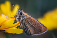 Orange butterfly sitting on a yellow flower. Detailed closeup of a orange and white colored butterfly sitting on a yellow flower royalty free stock photography