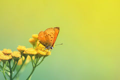 Orange butterfly sitting on yellow flowers of tansy. Orange beautiful butterfly sitting on yellow flowers of tansy stock photo