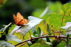 Orange Butterfly royalty free stock photos