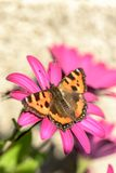 Orange butterfly  - Small Tortoiseshell Aglais urticae Stock Photography