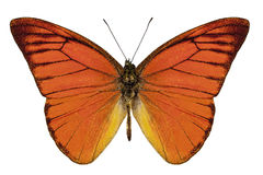 Orange butterfly species appias nero neronis Stock Images