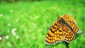 Orange butterfly. Standing on the top of the flower and feeding itself on a green lawn royalty free stock photography
