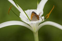 Orange butterfly sucking nectar from white flower Royalty Free Stock Photos