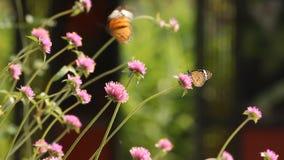 Orange butterfly sucking pollen from flower. Orange butterfly sucking pollen from white flower stock video