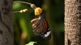 Orange butterfly sucking pollen from flower. Orange butterfly sucking pollen from yellow flower stock video