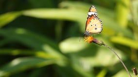 Orange butterfly sucking pollen from flower. Orange butterfly sucking pollen from yellow flower stock video footage