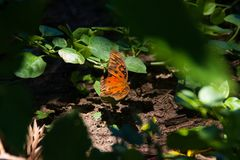 Orange butterfly at the back yard royalty free stock photo