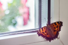 Orange butterfly swallow sits on the window.  royalty free stock photography