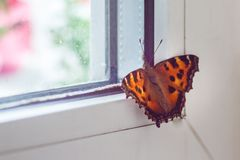 Orange butterfly swallow sits on the window.  royalty free stock photo