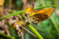 Orange butterfly Thymelicus lineola on stalk stock photo