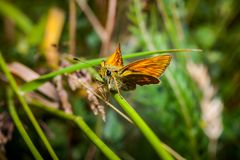 Orange butterfly Thymelicus lineola on stalk royalty free stock photography