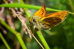 Orange butterfly Thymelicus lineola on stalk stock photography