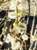 Orange butterfly urticaria on the willow bud. Butterfly urticaria at sunny day Royalty Free Stock Photos
