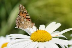 Orange butterfly Vanessa Cardui on white flower.  royalty free stock images