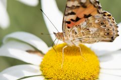 Orange butterfly Vanessa Cardui on white flower.  royalty free stock photography