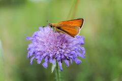 Orange butterfly on violet flower, macro photo.  stock photography