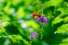 Orange butterfly on violet flowers, soft focussed on blurry gree. N background Stock Photography