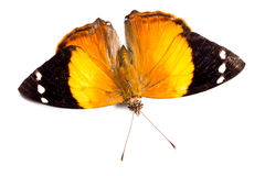 Orange butterfly on white. Beautiful orange butterfly isolated on a white background royalty free stock image