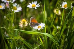 Orange butterfly on white daisy flower on a meadow. With green grass background stock image