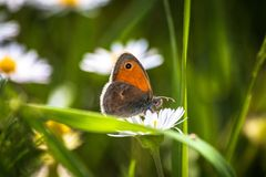 Orange butterfly on white daisy flower on a meadow. With green grass background stock photos