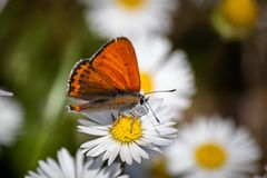 Orange butterfly on white daisy flower on a meadow royalty free stock image