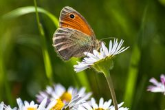 Orange butterfly on white daisy flower on a meadow. With green grass background royalty free stock photos