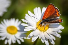 Orange butterfly on white daisy flower on a meadow. With green grass background royalty free stock images