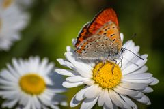 Orange butterfly on white daisy flower on a meadow. With green grass background stock photography