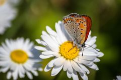 Orange butterfly on white daisy flower on a meadow. With green grass background royalty free stock photo