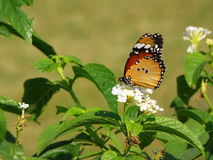 Orange Butterfly on the White Flower and Green Leaf. Close up Royalty Free Stock Images