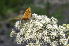 Orange butterfly at white flower. In macro stock photography