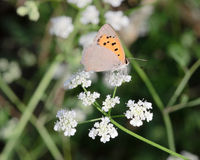 Orange butterfly on white flowers II Royalty Free Stock Photography