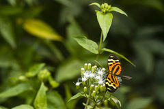 An orange butterfly and white flowers. At Kabalebo, Suriname Royalty Free Stock Photography