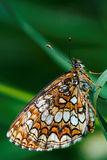 Orange  butterfly  on a Royalty Free Stock Photos