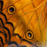 Orange butterfly wing. Nature texture, derived from orange butterfly wing background royalty free stock images