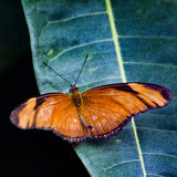 Orange Butterfly. An orange winged butterfly perched on a green leaf royalty free stock images