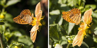 Orange butterfly on a yellow flower blossome Stock Photos
