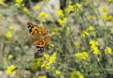 Orange butterfly on a yellow flower field , close up, spring photography. Macro photography royalty free stock photo