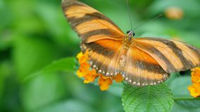 Orange butterfly on yellow flower. Green background Royalty Free Stock Photo