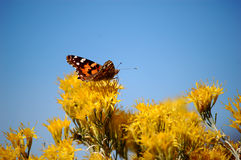 Orange Butterfly on Yellow Flowers. Orange and black butterfly on yellow chamisa flowers found in the American southwest royalty free stock photos