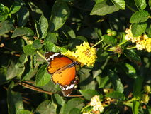 Orange Butterfly on the Yellow Flowers Stock Images